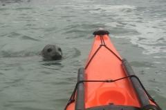 Seal from Sea kayak